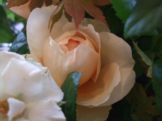 オークリーフ(紅葉と秋バラの花束)_f0049672_16382135.jpg