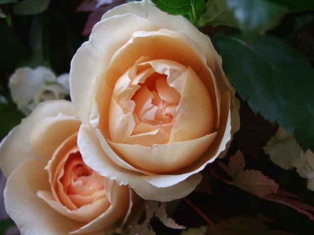 オークリーフ(紅葉と秋バラの花束)_f0049672_16382781.jpg