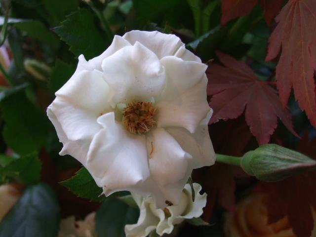 オークリーフ(紅葉と秋バラの花束)_f0049672_16383590.jpg