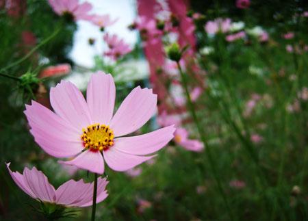秋桜_f0038727_22182095.jpg