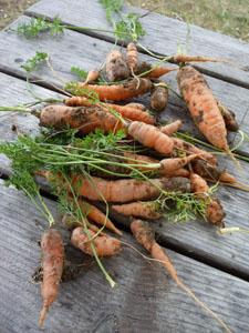 二十日大根の種を蒔きました_f0106597_21194889.jpg