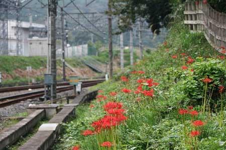 高麗の里「巾着田の彼岸花」を見てきました。_f0030085_1847042.jpg