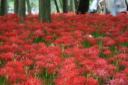 高麗の里「巾着田の彼岸花」を見てきました。_f0030085_18505247.jpg