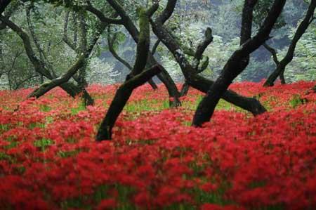 高麗の里「巾着田の彼岸花」を見てきました。_f0030085_18511764.jpg