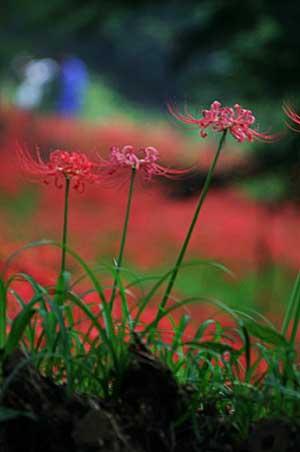 高麗の里「巾着田の彼岸花」を見てきました。_f0030085_18583023.jpg