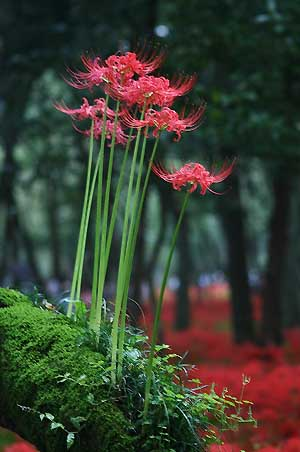 高麗の里「巾着田の彼岸花」を見てきました。_f0030085_1858992.jpg