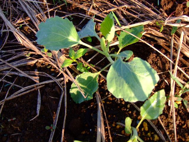 秋。冬野菜は順調です。_b0137932_20565561.jpg