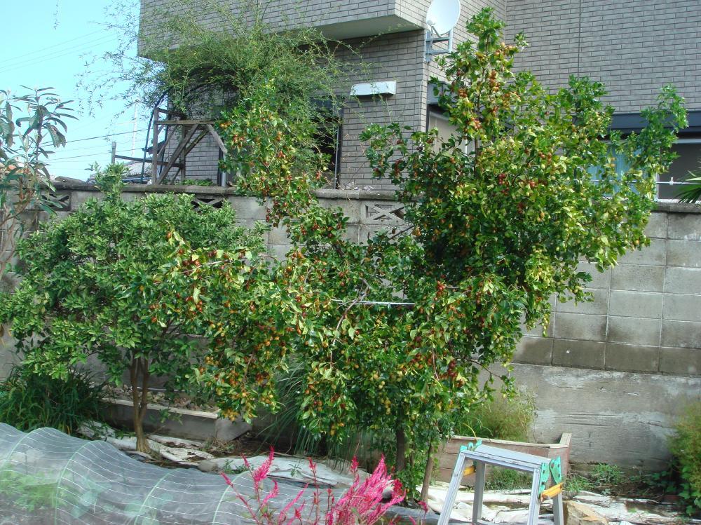 ナツメの収穫_c0108460_15241374.jpg