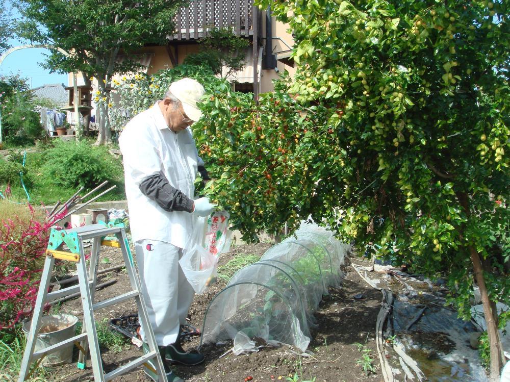 ナツメの収穫_c0108460_1525522.jpg