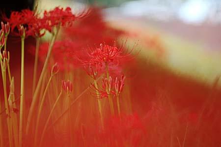 やっぱり彼岸花を見に行きました。_f0030085_16563982.jpg