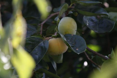 秋ですね        アキアカネ&柿_a0107574_2114443.jpg