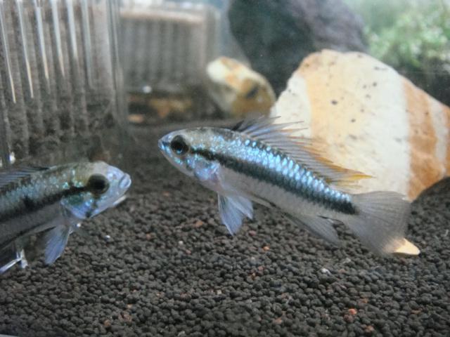 熱帯魚・金魚・水草_f0189122_17443581.jpg