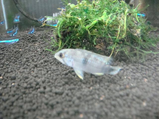 熱帯魚・金魚・水草_f0189122_1746669.jpg