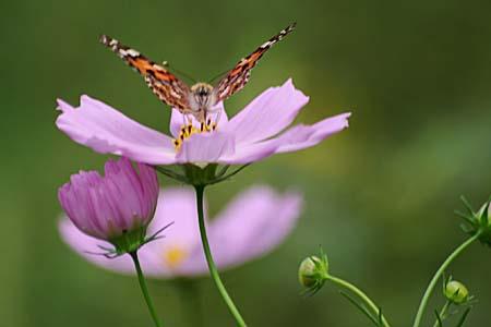 散歩道のコスモスと蝶写真、トンボもいます。_f0030085_16232249.jpg