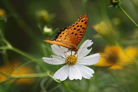 散歩道のコスモスと蝶写真、トンボもいます。_f0030085_16234398.jpg