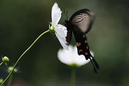 散歩道のコスモスと蝶写真、トンボもいます。_f0030085_162364.jpg