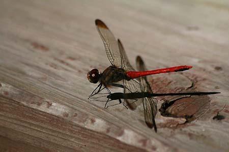 散歩道のコスモスと蝶写真、トンボもいます。_f0030085_163034100.jpg