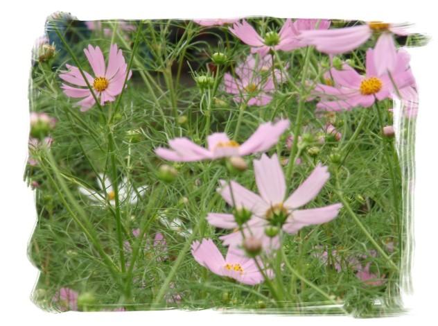 秋桜(こすもす)_c0026824_1833466.jpg