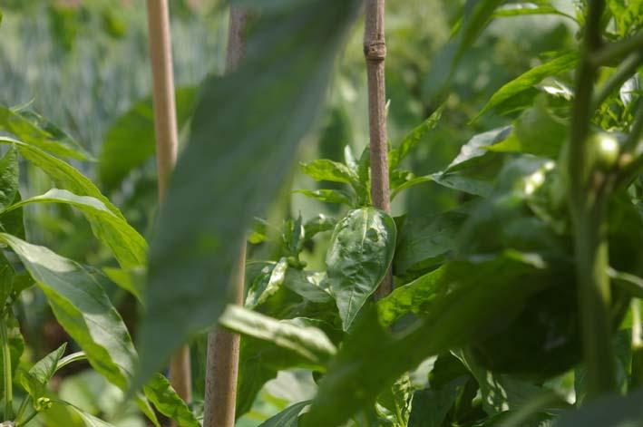 ダイコン発芽、小ぶりだがサトイモは元気回復(08・9・25)_c0014967_8282797.jpg