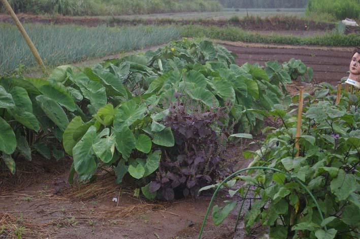 ダイコン発芽、小ぶりだがサトイモは元気回復(08・9・25)_c0014967_8293791.jpg