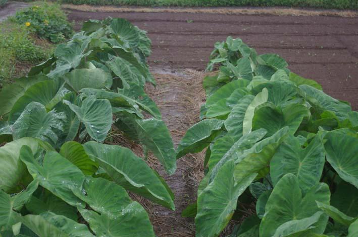ダイコン発芽、小ぶりだがサトイモは元気回復(08・9・25)_c0014967_8295479.jpg