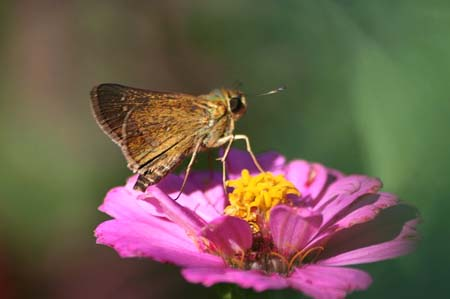 ダリア、色々と、今日の蝶写真_f0030085_166328.jpg
