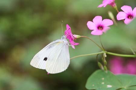 ダリア、色々と、今日の蝶写真_f0030085_1671139.jpg