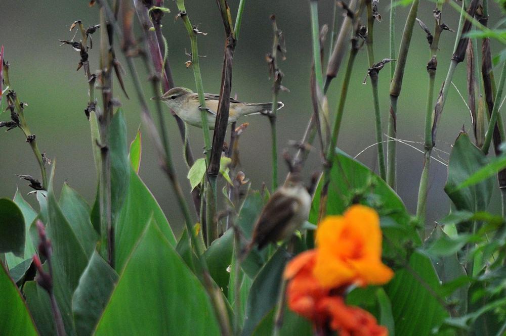 番のオオヨシキリ/彼岸花が折られました_b0024798_542279.jpg