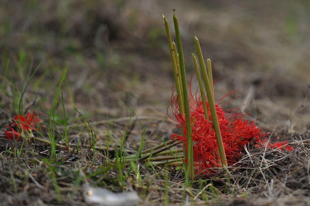 番のオオヨシキリ/彼岸花が折られました_b0024798_583865.jpg