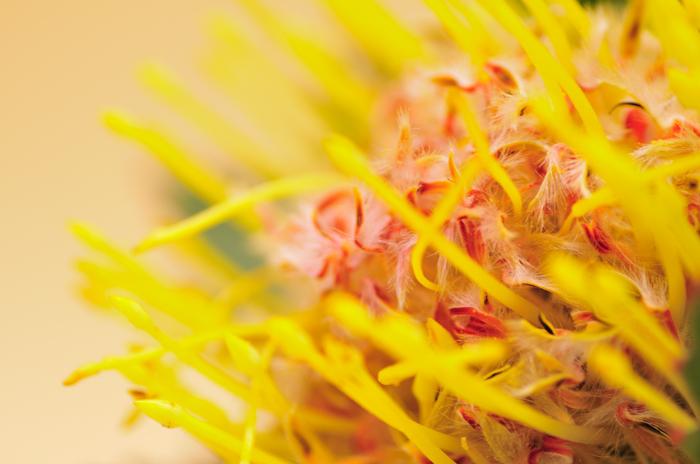 ピンクッション 黄色