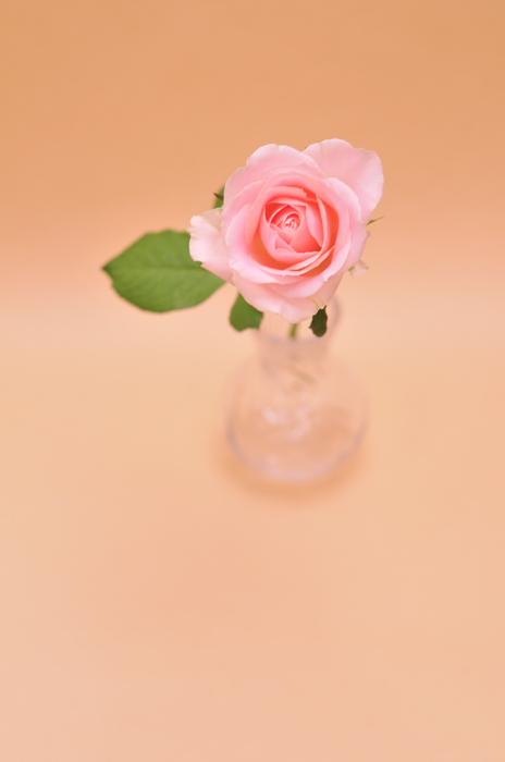 バラ スイートアバランチェ