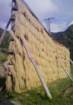 氷ノ山の棚田、稲刈りシーズン到来!_f0101226_9184576.jpg