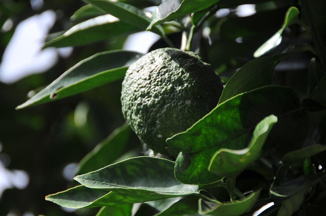 柑橘類の成り具合@散歩_d0056382_1147128.jpg