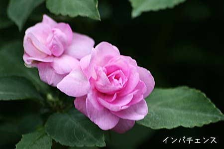 ピンク色の花色々と、今日の蝶写真_f0030085_11441452.jpg