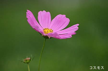 ピンク色の花色々と、今日の蝶写真_f0030085_11452283.jpg