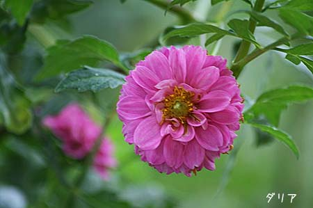 ピンク色の花色々と、今日の蝶写真_f0030085_11454345.jpg