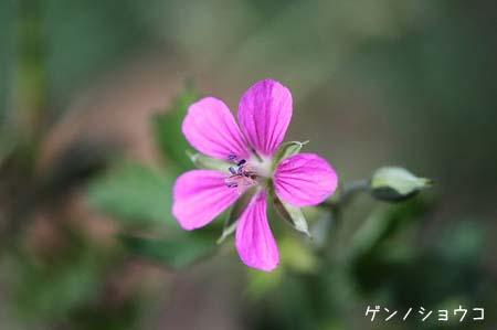 ピンク色の花色々と、今日の蝶写真_f0030085_11463734.jpg