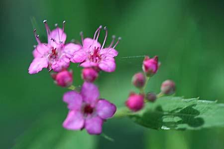 ピンク色の花色々と、今日の蝶写真_f0030085_11465429.jpg