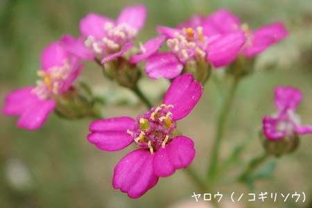 ピンク色の花色々と、今日の蝶写真_f0030085_11492349.jpg
