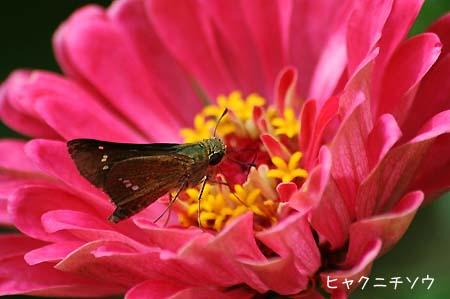 ピンク色の花色々と、今日の蝶写真_f0030085_11504976.jpg