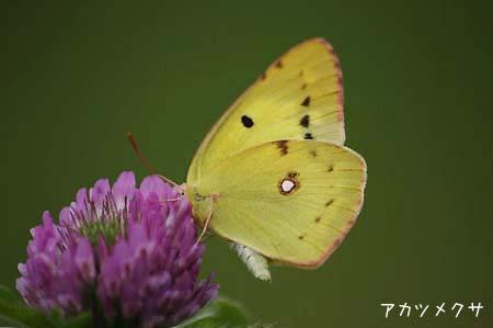 ピンク色の花色々と、今日の蝶写真_f0030085_11511676.jpg