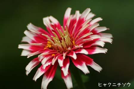 ピンク色の花色々と、今日の蝶写真_f0030085_11523355.jpg