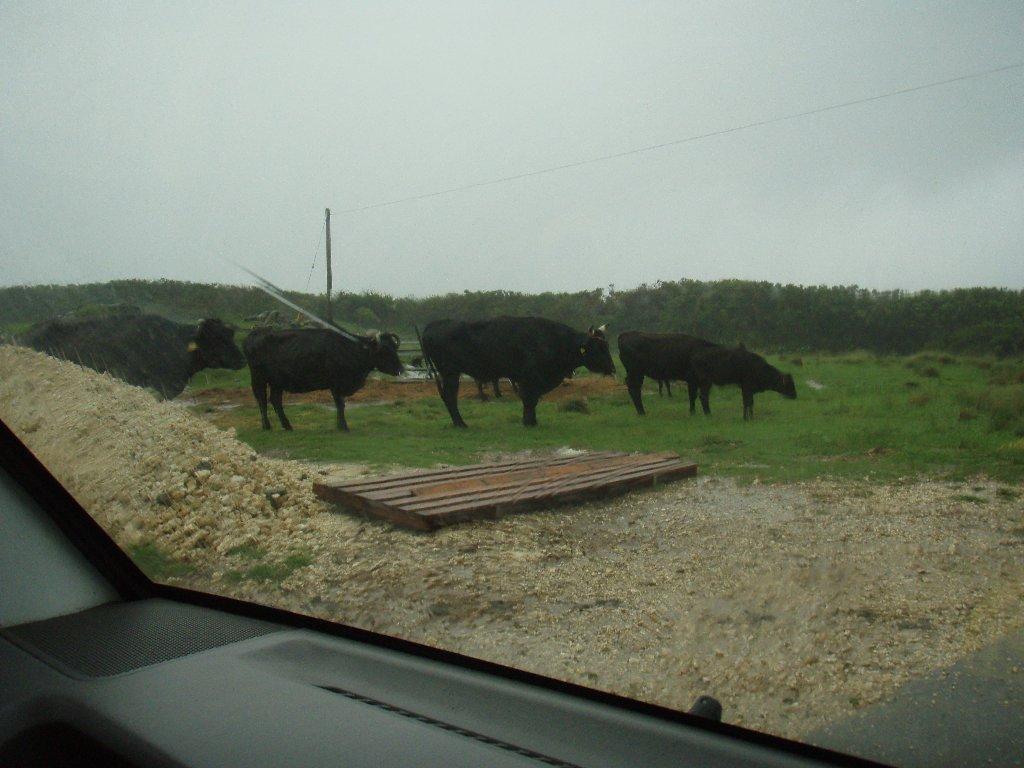 牛たちの暴風雨対策は?_d0113459_9294221.jpg