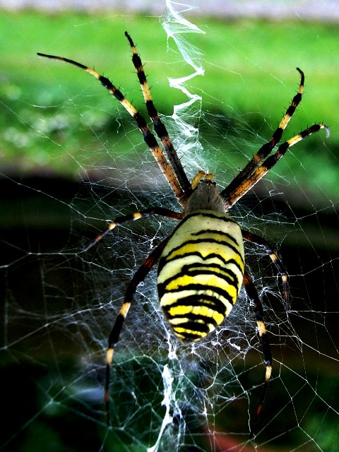 レースの様な蜘蛛の巣_d0105967_18474073.jpg