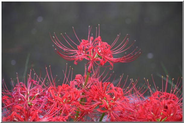 三渓園の彼岸花(横浜・本牧)NO2・_d0123528_1525588.jpg