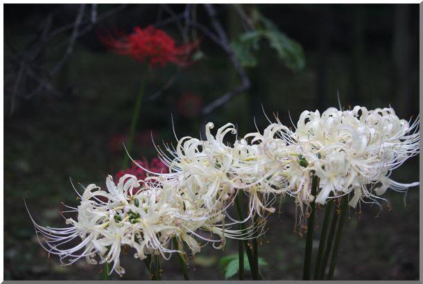 三渓園の彼岸花(横浜・本牧)NO2・_d0123528_15334574.jpg