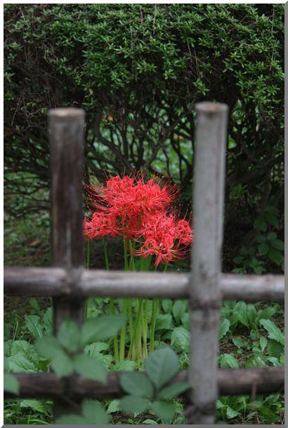 三渓園の彼岸花(横浜・本牧)NO2・_d0123528_15395911.jpg
