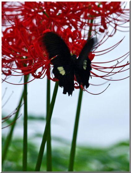 三渓園の彼岸花(横浜・本牧)NO2・_d0123528_1555245.jpg