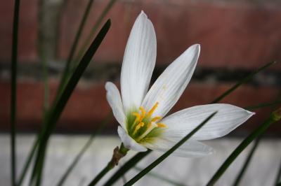 庭の花  玉簾と鳳仙花_c0118352_630446.jpg