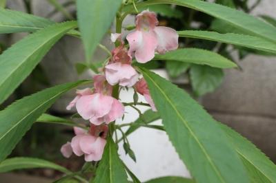 庭の花  玉簾と鳳仙花_c0118352_631562.jpg